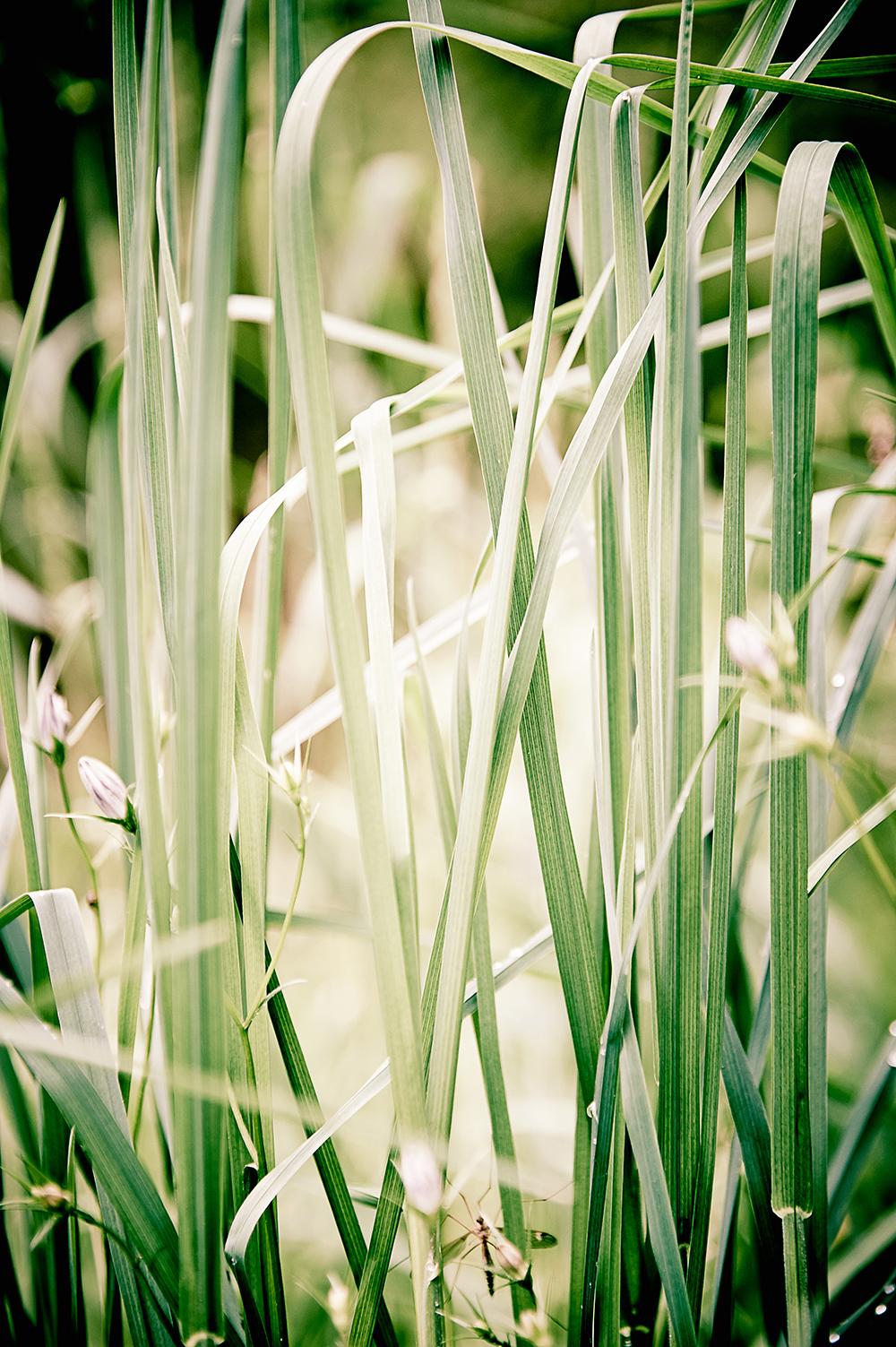 gras, gräser, wiese